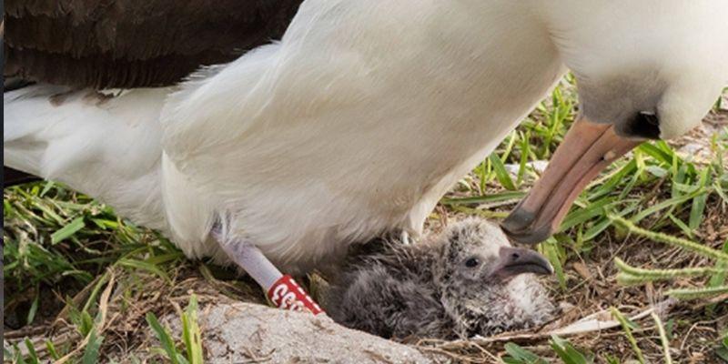 Nasce novo filhote de Wisdom, o albatroz mais antigo do mundo