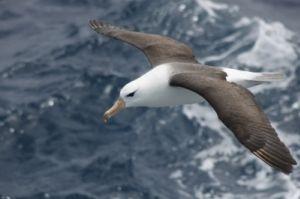 Black-browed albatross/ Credit:Dimas Gianuca