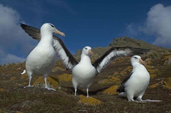 albatrozes-e-petreis-6