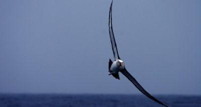 Albatroz-de-nariz-amarelo-do-Atlântico (Thalassarche chlororhynchos), uma das espécies de albatroz ameaçada de extinção