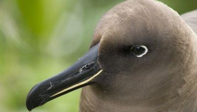 Albatroz-negro (Phoebetria fusca)