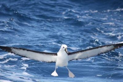 Albatroz-de-nariz-amarelo-do-Atlântico (Thalassarche chlororhynchos), uma das espécies de albatroz ameaçada de extinção, pousando no mar