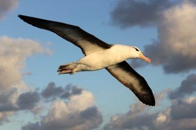 albatroz de sobrancelha-negra