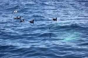 Aves marinhas em mar poluído com tinta