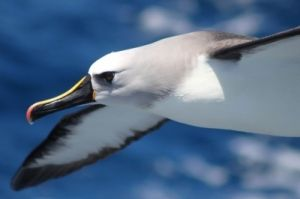Albatroz-de-nariz-amarelo-do-Atlântico (Foto: Dimas Gianuca/Projeto Albatroz)