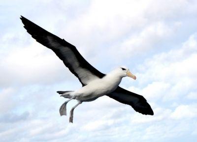 Albatroz-de-sobrancelha-negra (Thalassarche melanophris) planando