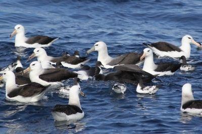 Albatrozes-de-sobrancelha-negra em alto-mar