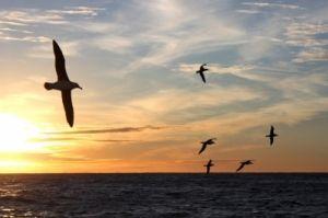 O albatroz-errante é a maior ave do planeta; com as asas abertas, chega a medir 3,5 metros