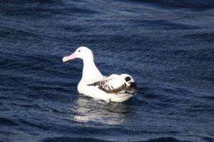 A albatroz viageira, White