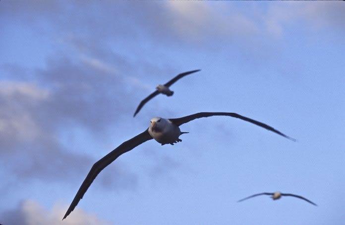albatrozes-e-petreis-5