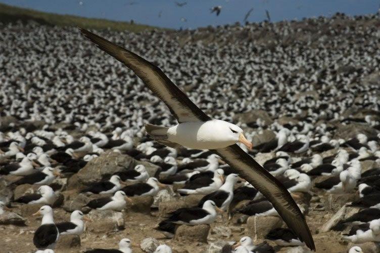 albatrozes-e-petreis-2
