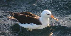 Black-browed albatross photrographed from a vessel off souther Brazil (Photo_Nicholas Daudt)