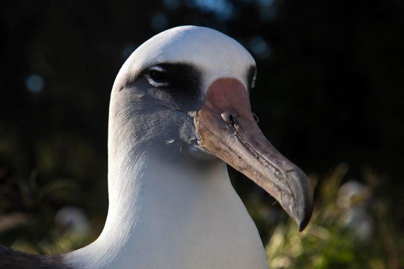 Aos 70 anos, a albatroz Wisdom retorna ao Atol de Midway para mais uma temporada reprodutiva