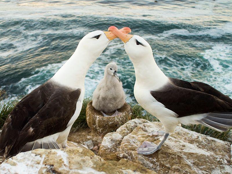 Saiba por que os pais e mães albatrozes são considerados os mais dedicados do Atlântico Sul
